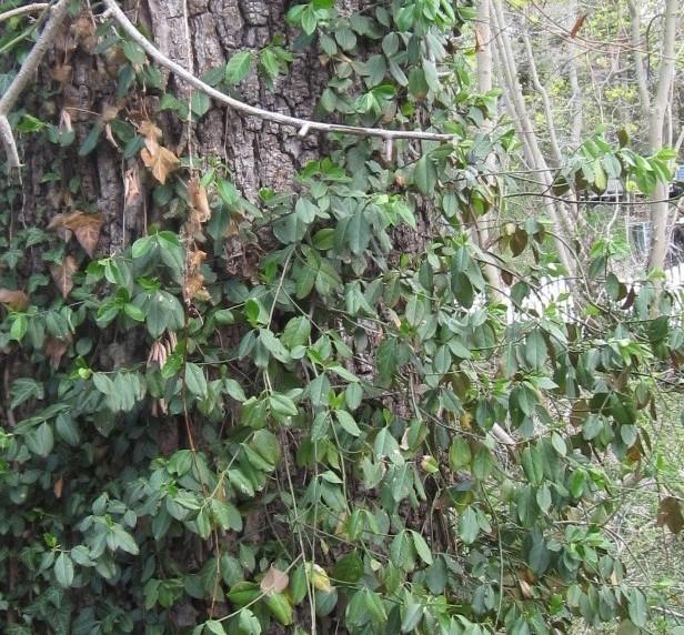 Invasive Vines On Long Island