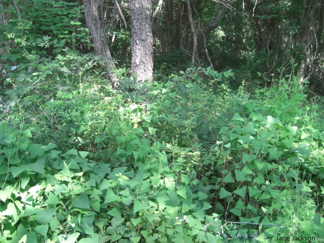 Invasive Vines Long Island