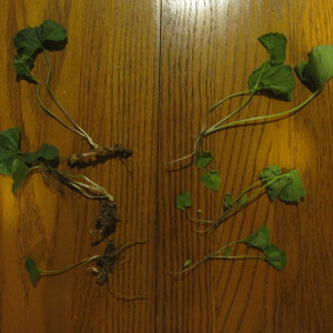 Roots of Common Violet (left) and Garlic Mustard (right)