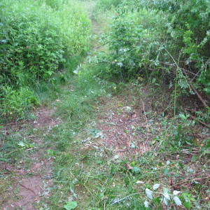 Multiflora Rose Cleared from Upland Trail
