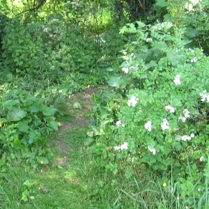 Multiflora Rose North of Upland Fence