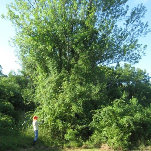Red Maple Covered by Invasive Vines