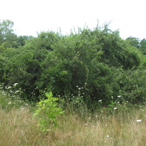 Invasive Vines Completely Cover an Apple Tree