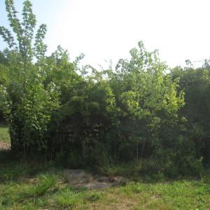 Freeman Maple Trees Along Lower Fence