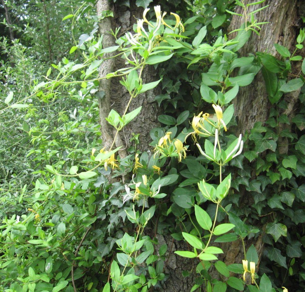 Honeysuckle Vine - Go Native Long Island | 1024 x 980 jpeg 241kB