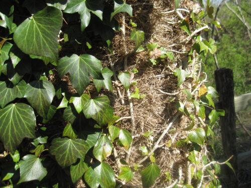 English Ivy Vines